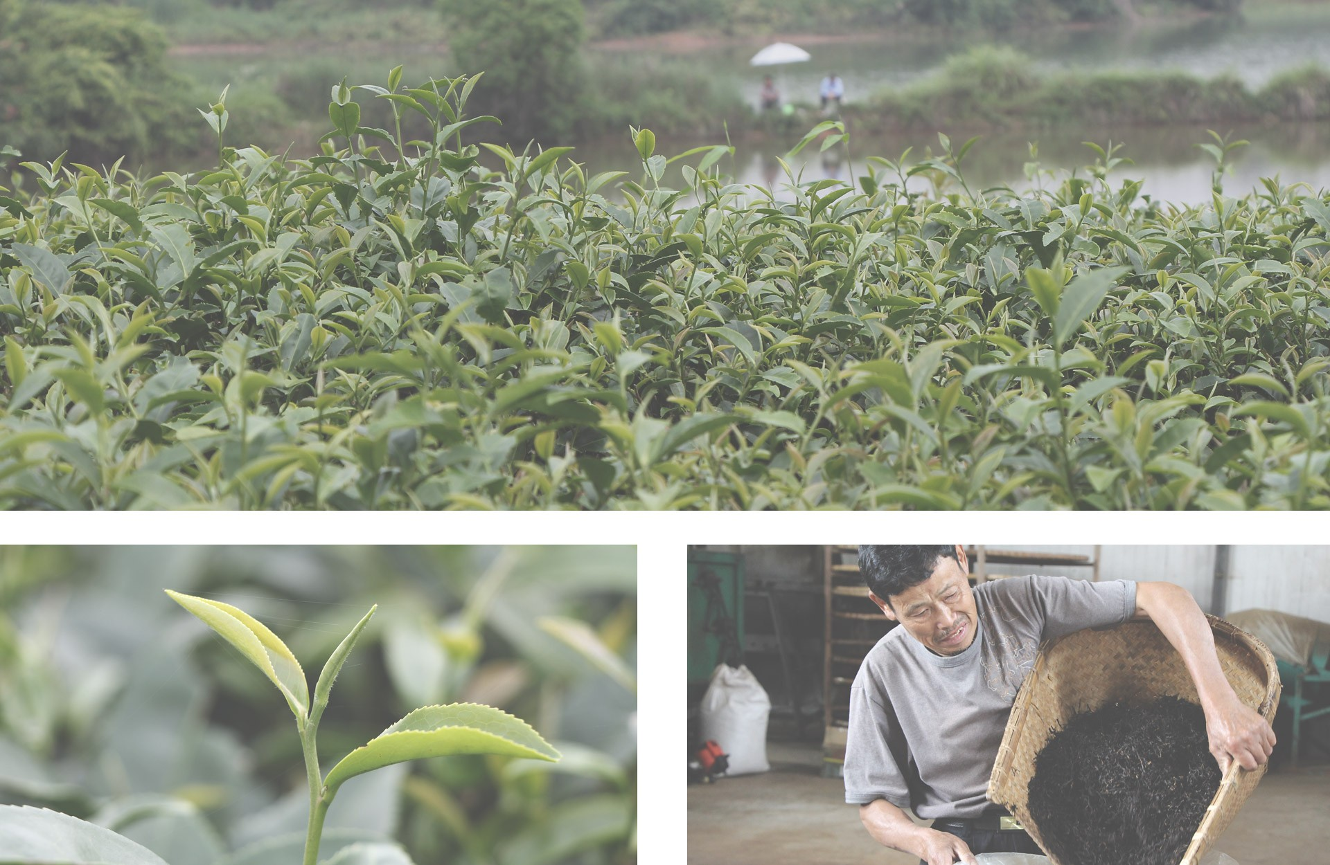 Oolong Teeplantage China