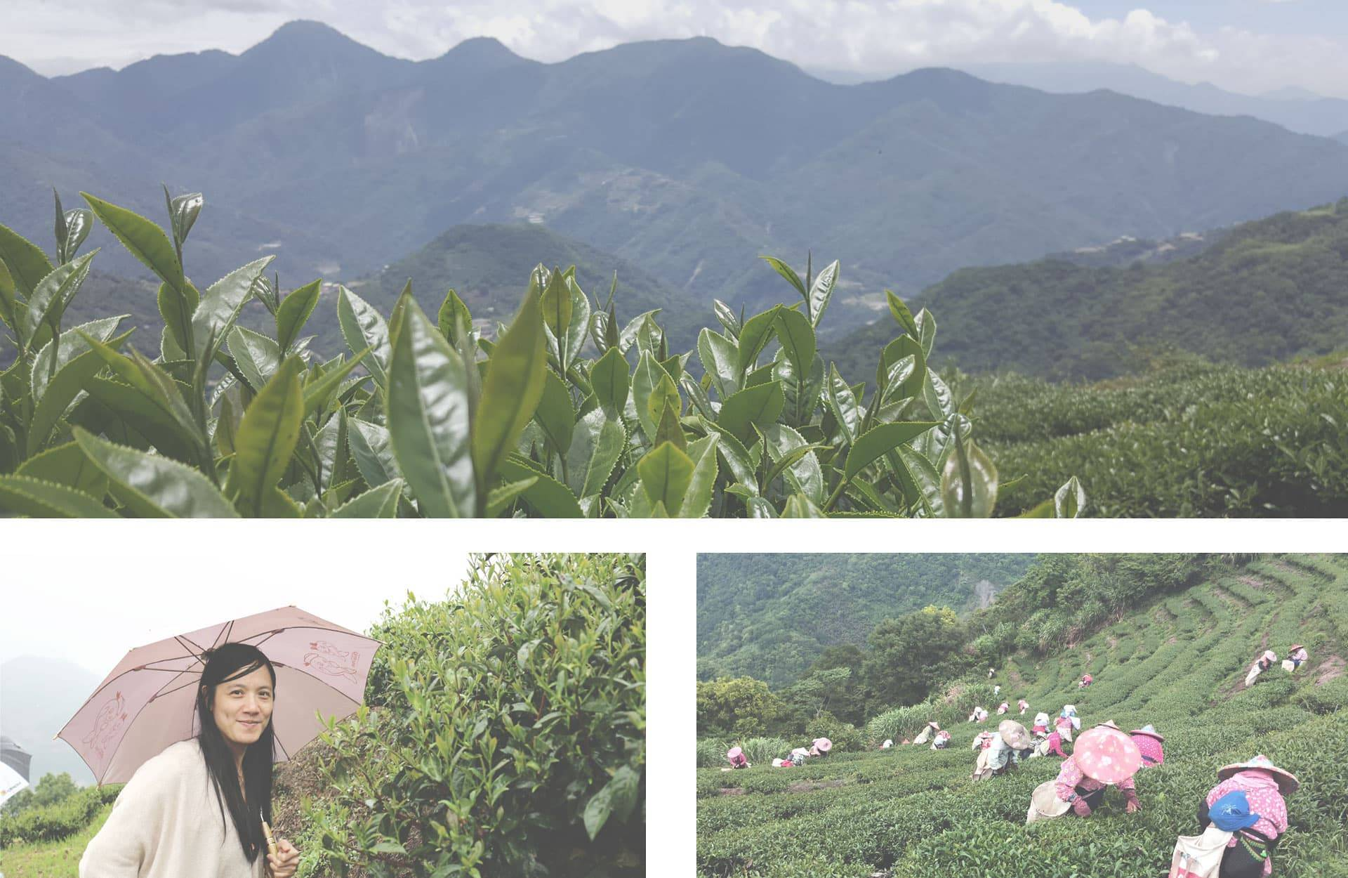 Oolong Teeplantage Taiwan Four Season